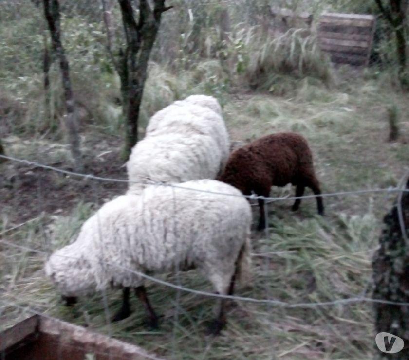 vendo 1 ovejas,1 carnero joven