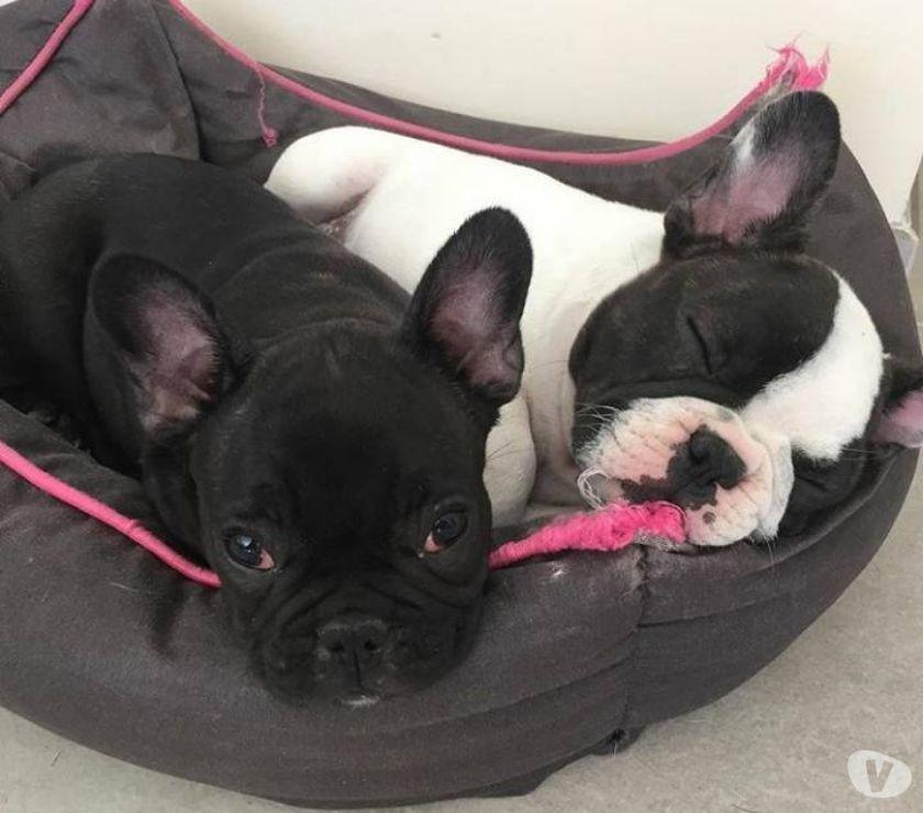Tenemos una bonita cara de bebé Bulldog francés para