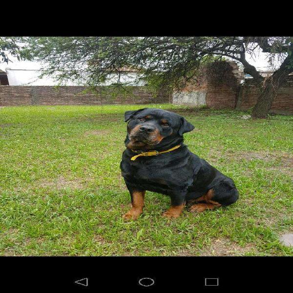Perro Rottweiler Busca Novia