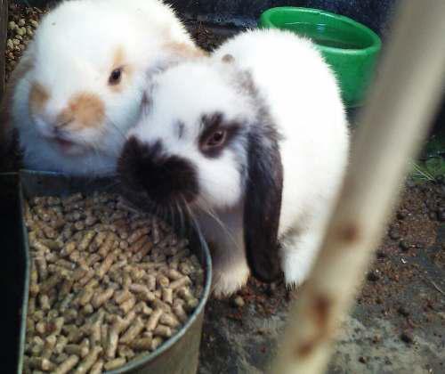 Conejin Alimento Para Conejos Y Cobayos X 10 Kg