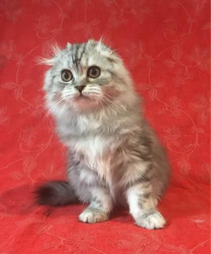 Scottish Fold,macho,pelo Largo,black Silver Classic Tabby !!