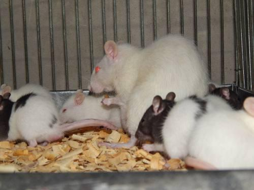 Ratones,mamones,ratas Americanas O De Laboratorio