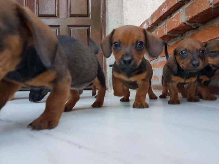cachorros dachshunt salchichas