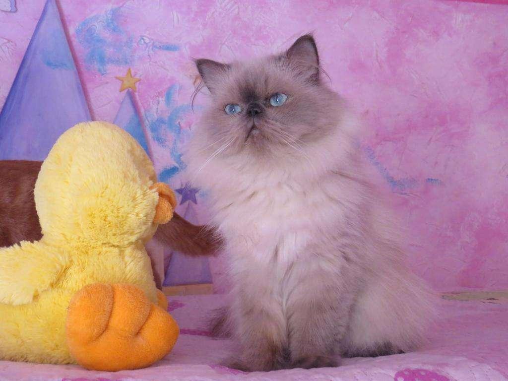 gatitos persas himalayos bellezas!!!para reservar