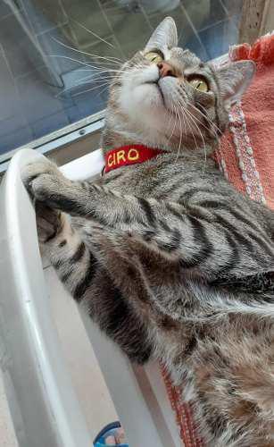 Collar Bordado Con Identificacion Para Gatos