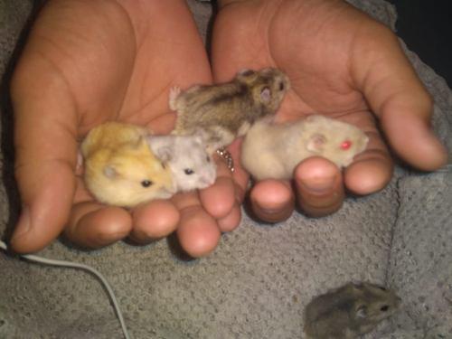 Hamster Rusos Varios Colores