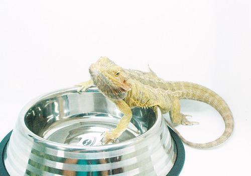 Comedero/bebedero De Aluminio Para Geckos Y Pogonas