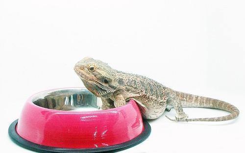 Comedero/bebedero De Aluminio Para Geckos Y Pogonas Fucsia