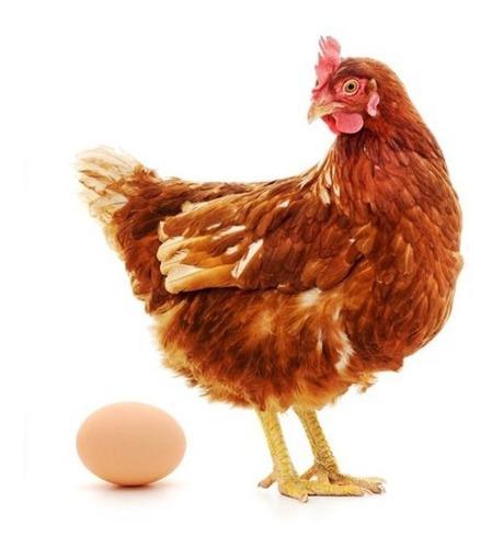 Proyecto Cría Gallinas Ponedoras + Produccion Huevos Pollos