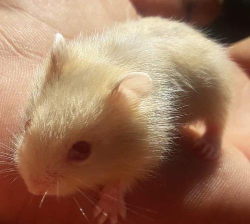 Hamster Rusos