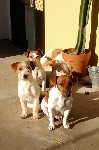 Cachorros Jack Russell Terrier Criadero De La Pisada